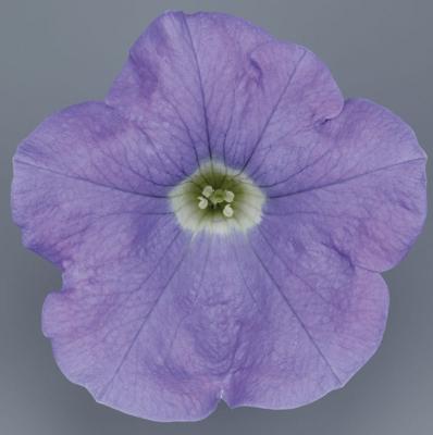 Petunia sky blue