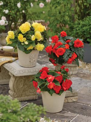 Dubbele begonia - 3 kleuren