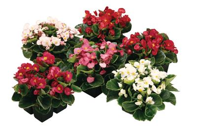 Begonia 5 kleuren voor 9 cm pot