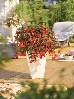 Hangbegonia rood
