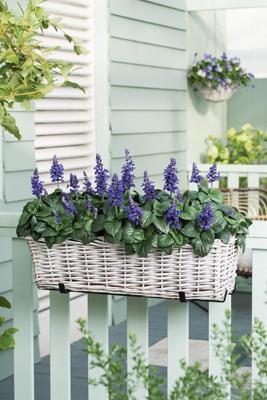 Salvia blauw
