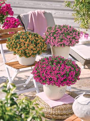 Calibrachoa mini petunia in tientallen kleuren
