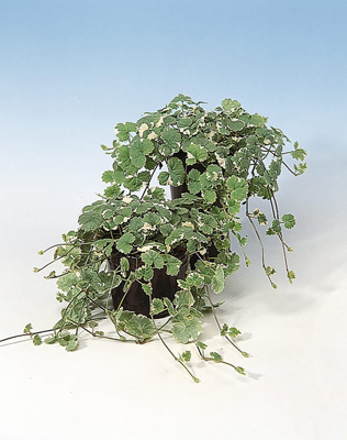 Glechoma Nepeta bont bladig