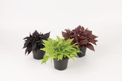 Ipomoea diverse variëteiten in blad kleur
