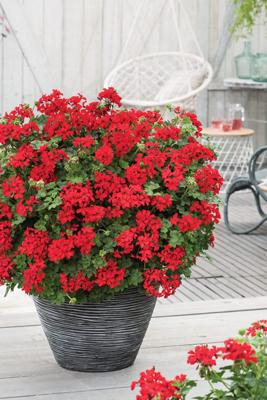 Pelargonium geranium 4 kleuren half hang/half staand. Zeer sterk soort!