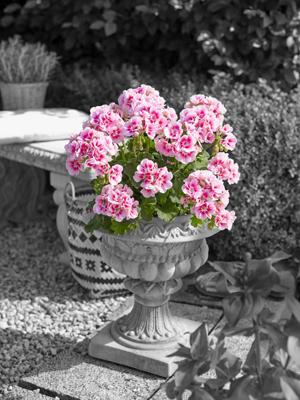 Pelargonium geranium staand in 10 tal kleuren