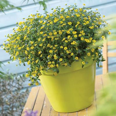 Sanvitalia geel in groen en donker bladig