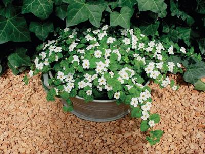 Sutera Bacopa wit 8 kleuren enkel en dubbel bloemig