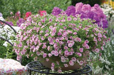 Calibrachoa mini petunia dubbel bloemig 9 kleuren