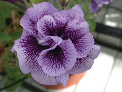 Petunia dubbel bloemig diverse kleuren